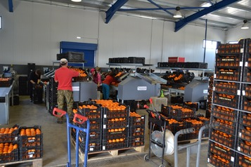 Sorting-Grading-Packaging line for Oranges