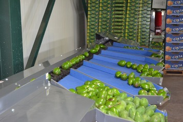 Sorting-Grading-Packaging line for Avocado