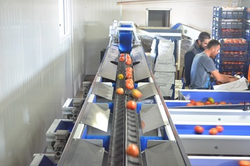 Sorting - Sizing and Grading Line for Toamtoes