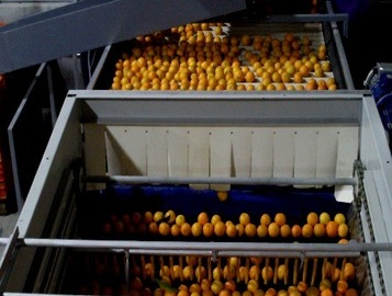 Sorting and Grading line for Oranges