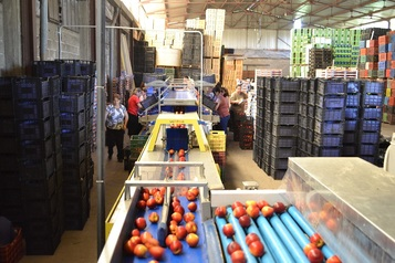 Sorting and Grading Line for Peaches and Nectarines