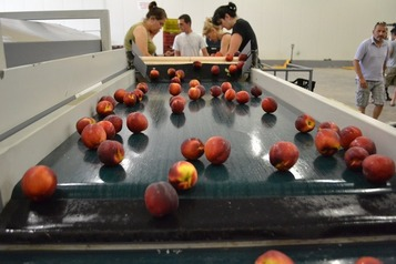 Sorting-Grading-Packaging line for Peaches-Nectarines