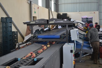Sorting and Grading Line for flat Peaches
