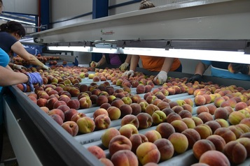 Sorting - Grading - Packaging Line for Peaches and Nectarines