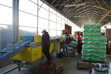 Sorting and Grading Line for Cucumbers