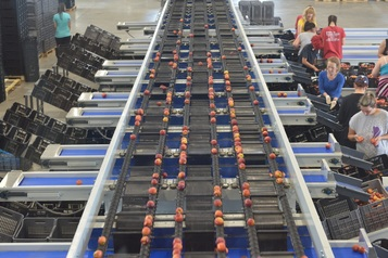 Sorting-Grading-Packaging line for Peaches